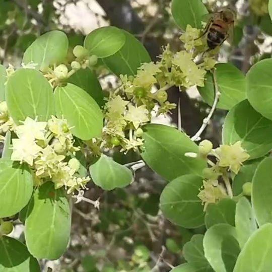 Sidr tree flowers
